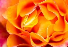 близкое померанцовое розовое поднимающее вверх Справочная информация Стоковые Изображения