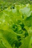 близкое поднимающее вверх салата листьев дня солнечное Стоковое Изображение RF