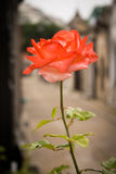 близкое розовое поднимающее вверх Стоковая Фотография RF