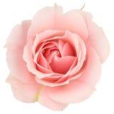 близкое розовое розовое поднимающее вверх Стоковое Изображение