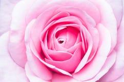 близкое розовое розовое поднимающее вверх Стоковые Фотографии RF