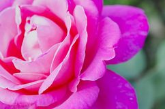 близкое розовое розовое поднимающее вверх Стоковые Изображения RF