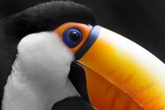 близкое toucan поднимающее вверх Стоковая Фотография RF