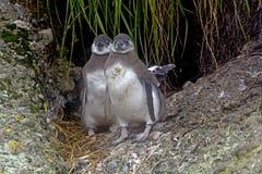 Близнецы пингвина Magellanic младенца вне их гнезда Стоковое Фото