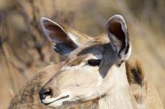 Бдительная женщина kudu Стоковые Изображения