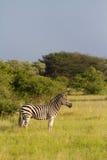 Бдительная зебра Стоковое Изображение