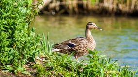 Бдительная коричневая утка на крае ` s воды Стоковое фото RF