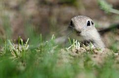 Бдительная маленькая земная белка Peeking над краем своего дома Стоковые Фото