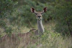 Бдительное женское Kudu Стоковое фото RF