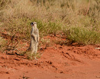 бдительное meerkat Стоковые Изображения