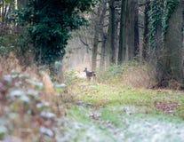 Бдительные олени косуль стоя на пути в лесе зимы Стоковое Изображение