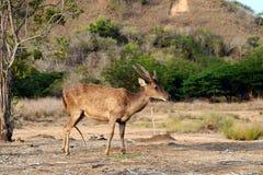 Бдительные олени Komodo Стоковая Фотография RF