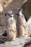Бдительные meerkats Стоковое Изображение RF