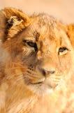 Бдительный лев Стоковая Фотография