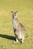 Бдительный кенгуру готовый для того чтобы поскакать и бег Стоковое Фото