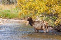 Бдительный лось коровы в реке Стоковые Фотографии RF