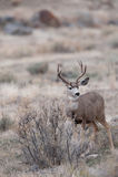 Бдительный самец оленя оленей осла Стоковое фото RF