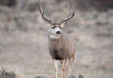 Бдительный самец оленя оленей осла Стоковые Изображения