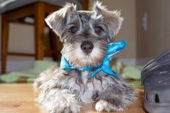 Бдительный щенок шнауцера Стоковая Фотография