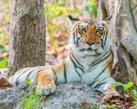 Бдительный Tigress Стоковые Фото