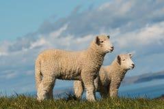 2 бдительных овечки стоя на выгоне Стоковое Изображение