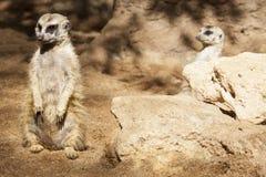 2 бдительных meerkats Стоковые Фотографии RF