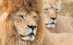 Блюстительные лев и львица Стоковое Изображение