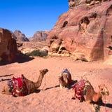 вади рома верблюдов Стоковое Изображение