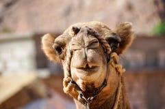 вади рома Иордана верблюда Стоковые Фотографии RF