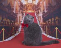 Важный кот створки Scottish на красном ковре Стоковые Фотографии RF
