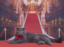 Важный кот створки Scottish на красном ковре Стоковые Изображения