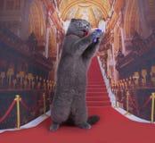 Важный кот створки Scottish на красном ковре Стоковая Фотография