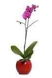 ваза красного цвета орхидеи Стоковая Фотография