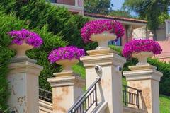 Вазы с цветками петуньи Стоковая Фотография RF