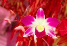 Валентинка карточки концепции предпосылки фиолетовой красивой нерезкости цветка орхидеи красная Стоковая Фотография