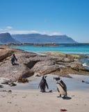Валуны преследуют пингвины стоковая фотография