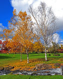 Валы березы в осени Стоковые Изображения