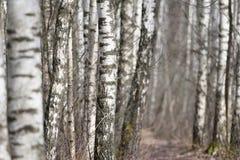 валы весны пущи березы Стоковая Фотография RF