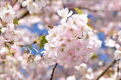 валы вишни цветеня полные стоковое фото