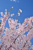 валы вишни цветеня полные стоковая фотография rf