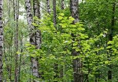 валы лета пущи березы Стоковая Фотография RF