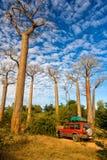 валы Мадагаскара баобаба Стоковая Фотография