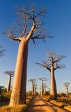 валы Мадагаскара баобаба Стоковое Фото