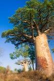 валы Мадагаскара баобаба Стоковое фото RF