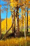 валы осины золотистые Стоковое Изображение RF