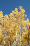 валы осины золотистые Стоковое фото RF
