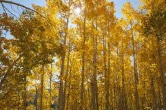 валы осины золотистые Стоковые Изображения