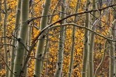 валы осины Стоковая Фотография