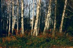 валы парка березы Стоковые Фотографии RF