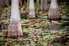 валы пусковых площадок лилии кипариса Стоковое Изображение